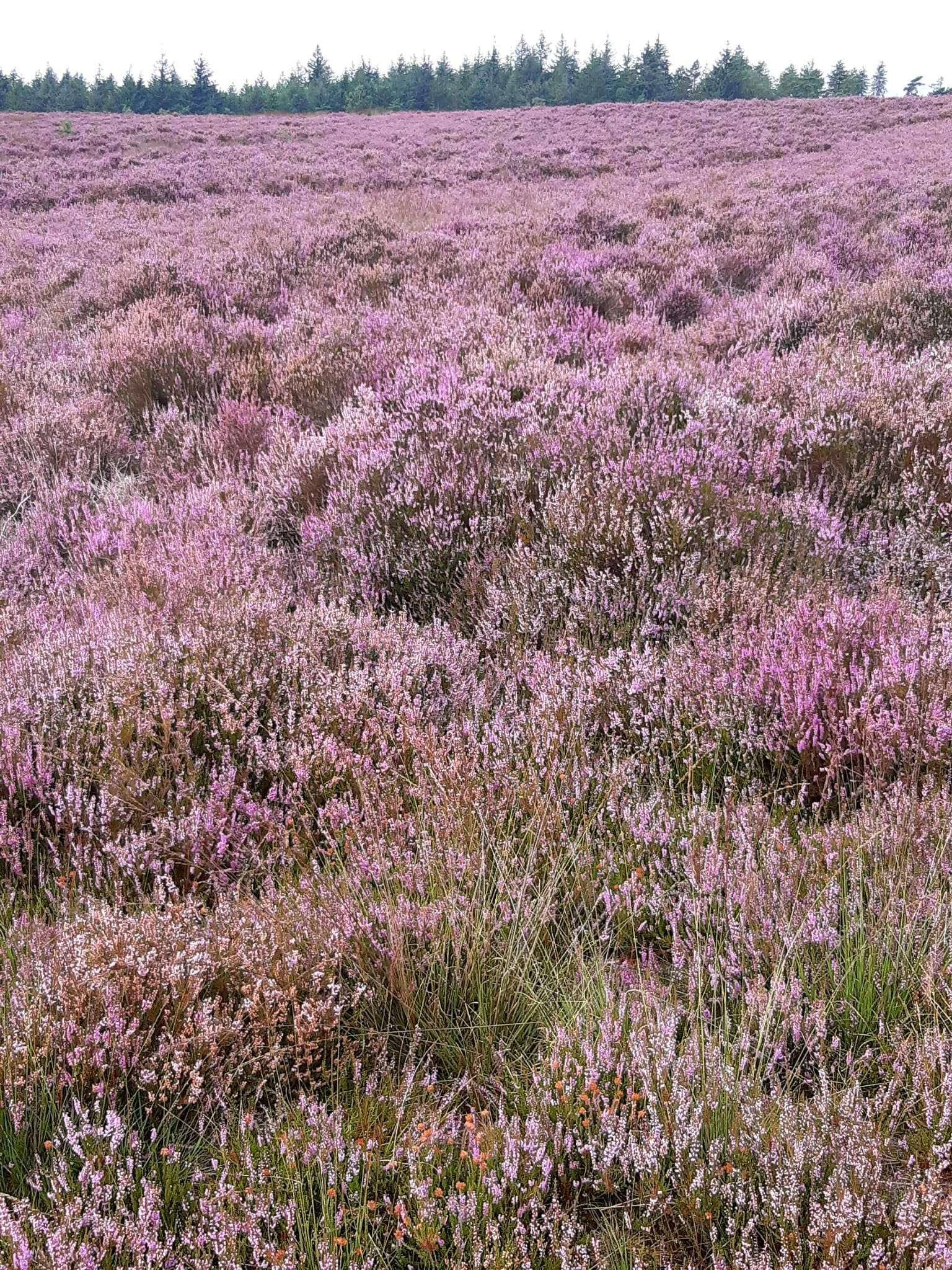 Heide in bloei op de Loenermark